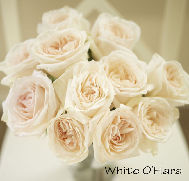 Florabundance, White O'Hara Garden Rose, a blush pink cream large rose