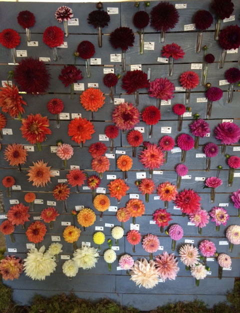 Seattle Wholesale Growers Market - Wall of Dahlias