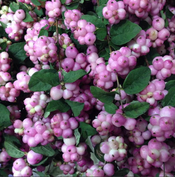G Page - Snowberries