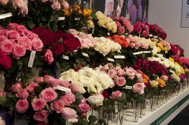 Alexandra Garden Roses