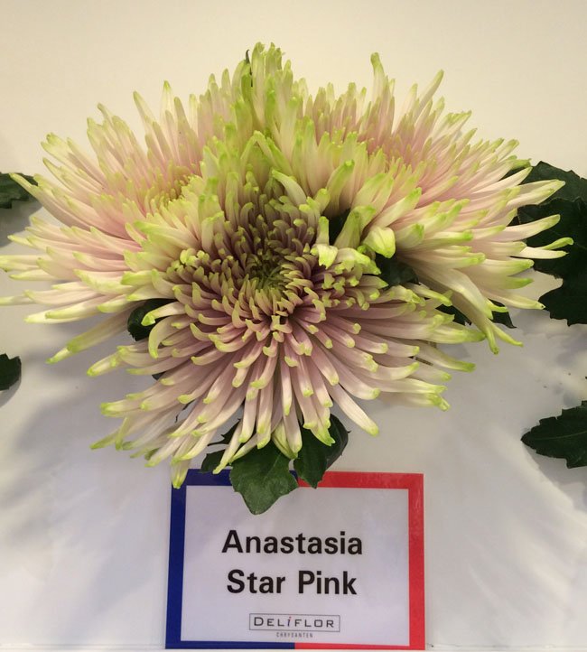 Anastasia Star Pink Mums