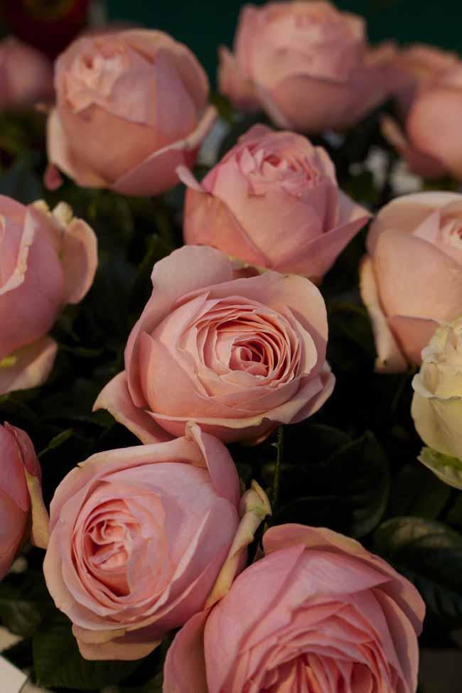 Aphrodite Garden Roses