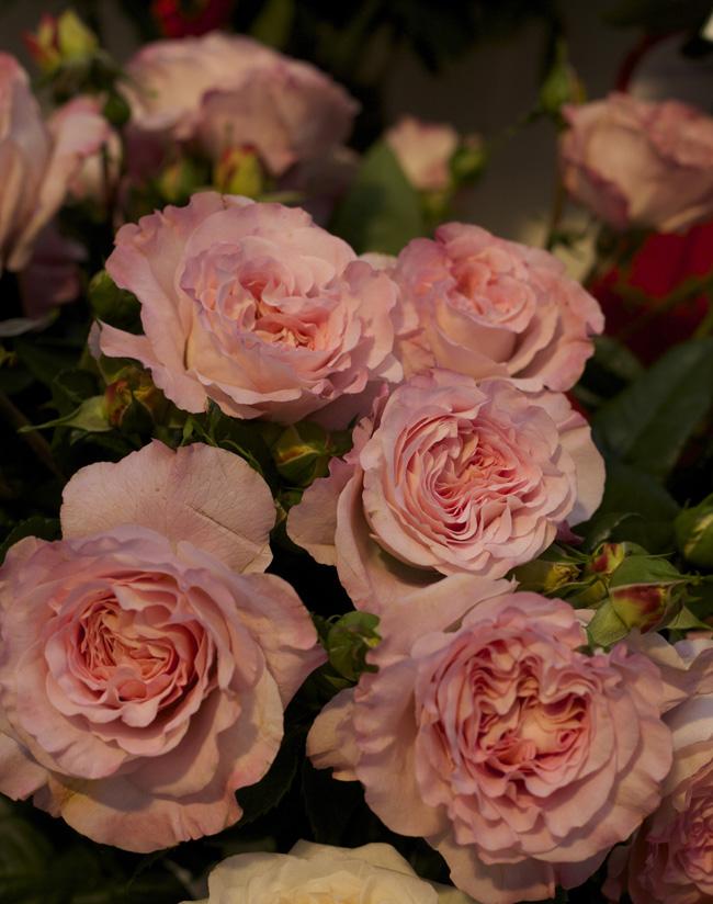 Augusta Luise Garden Roses