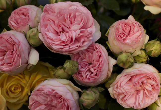 Garden Roses Flirty Fleurs The Florist Blog Inspiration for