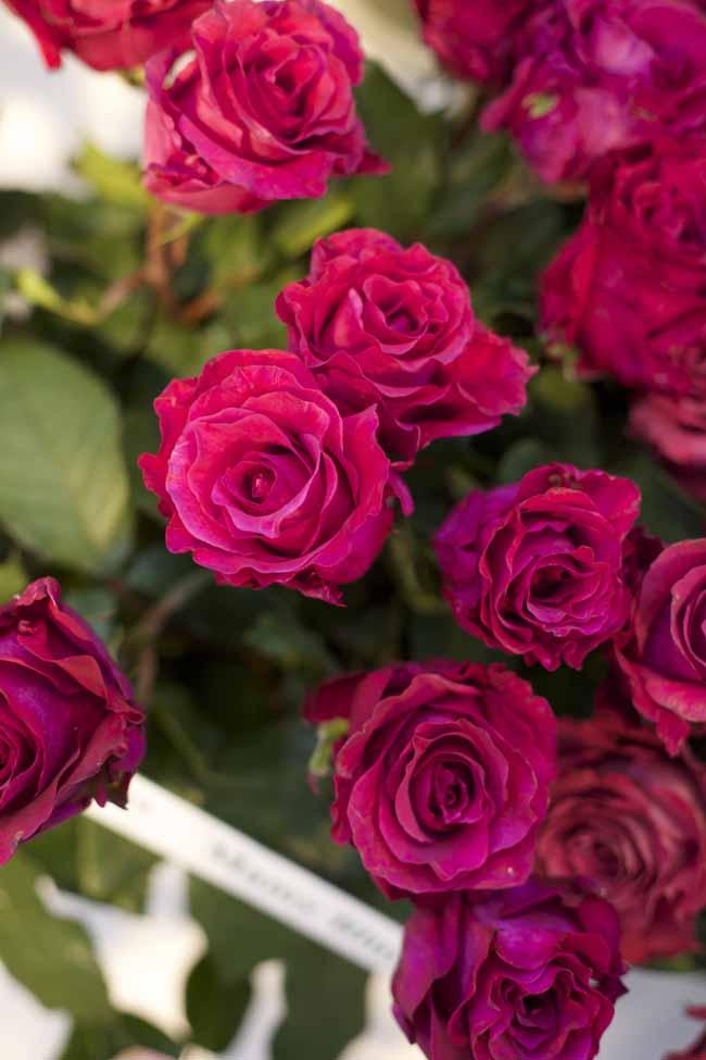 Mamy Blue Garden Roses