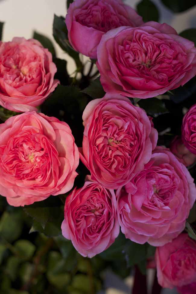 Mariatheresia Garden Rose