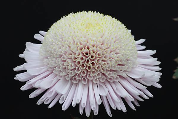 Peter Anderton Pale Pink Anemone Mum