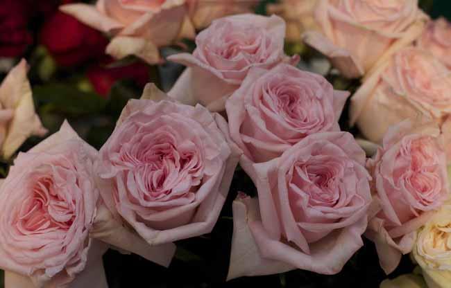 Pink Ou0027Hara Garden Roses