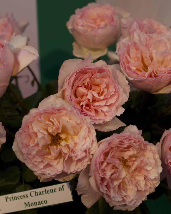 Princess Charlene of Monaco Garden Roses