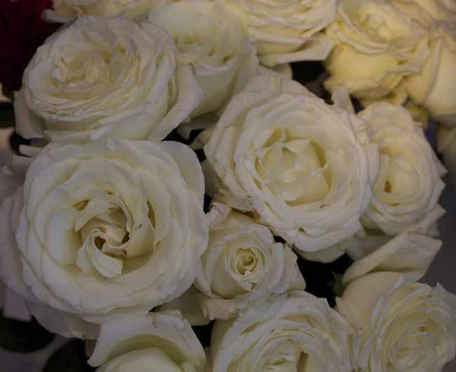 Vitality Garden Roses