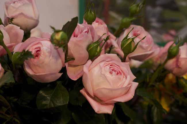 Voyage Garden Roses