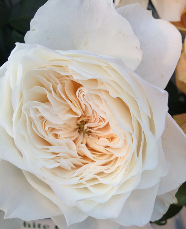 White Cloud Garden Roses by Alexandra Farms
