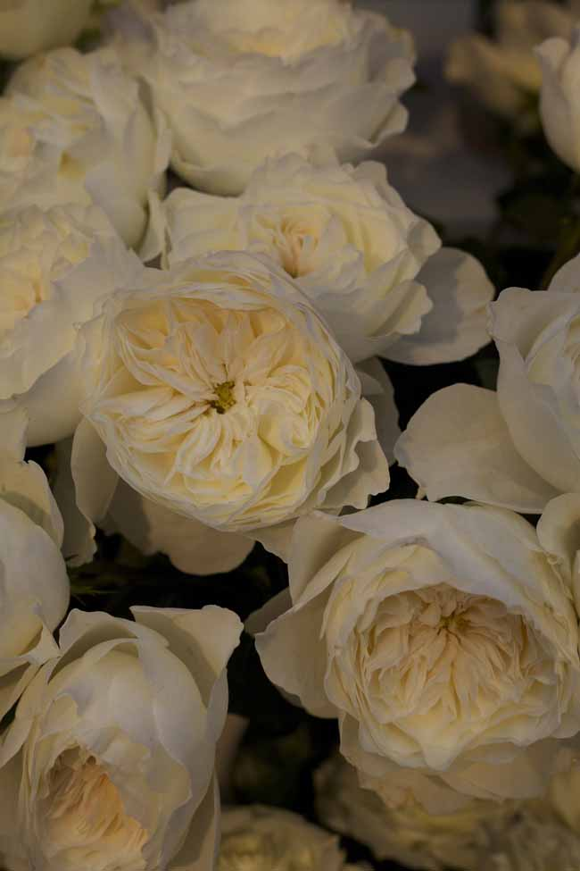 White Cloud Garden Roses
