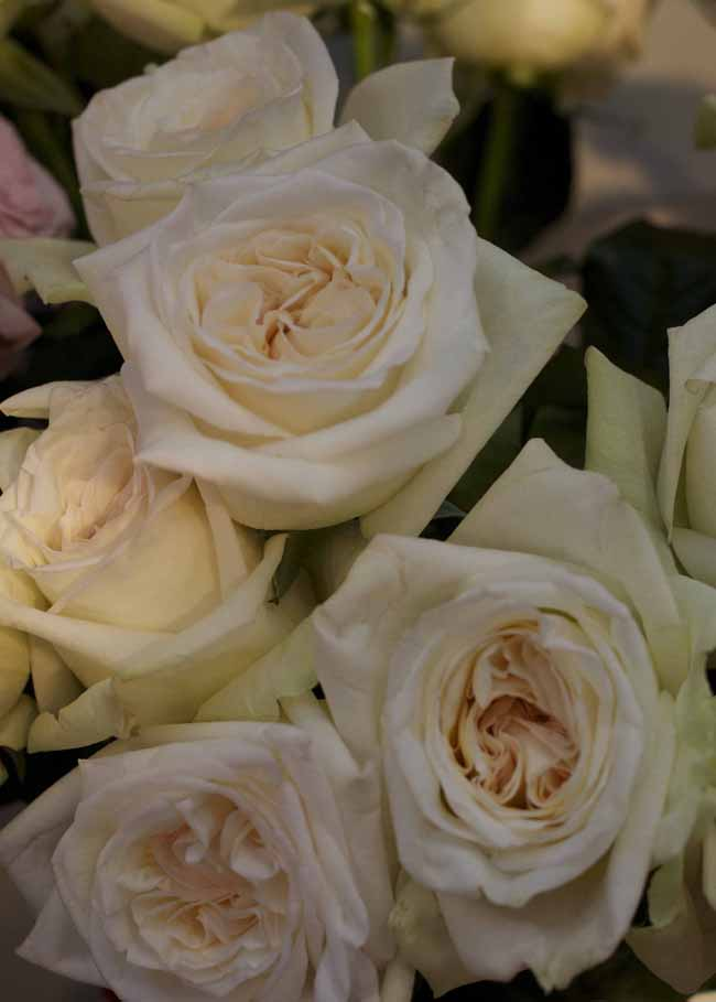 White O'Hara Garden Roses