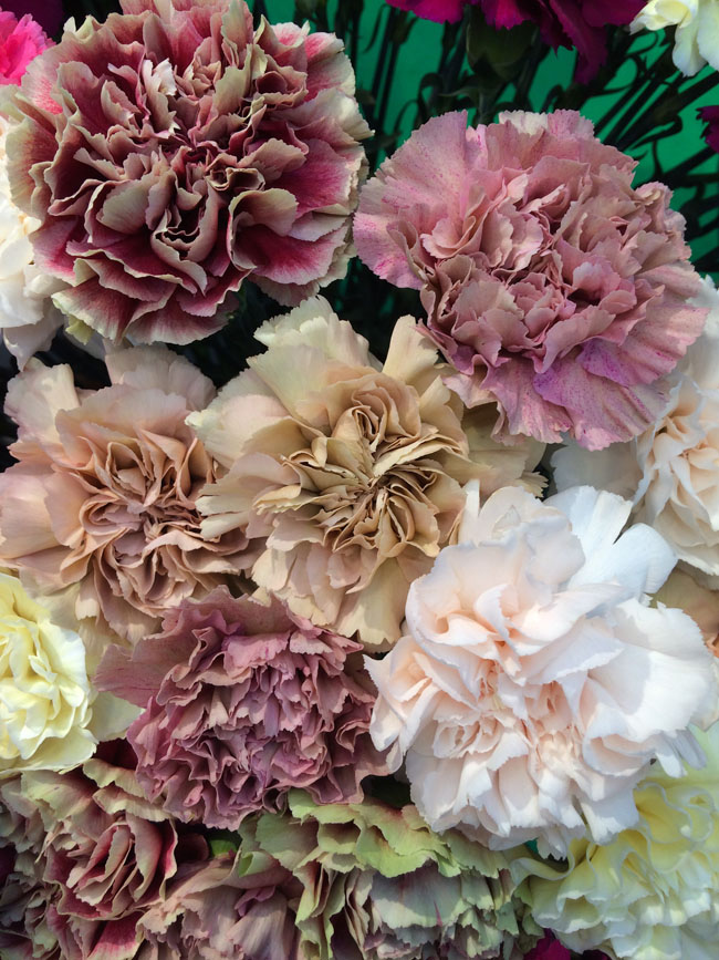 Antique collection of carnations