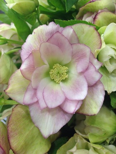 Hellebores by G Page Flowers