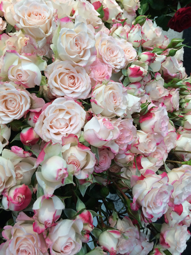 Reflex Spray Rose