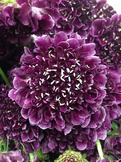 Scabiosa by G Page Flowers