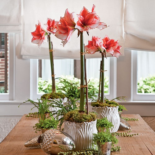 Amaryllis inspirations flirty fleurs the florist blog for Amaryllis christmas decoration