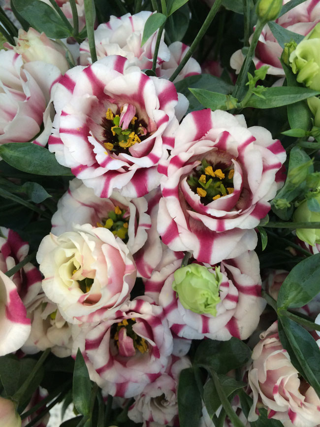 White and pink striped lisianthus