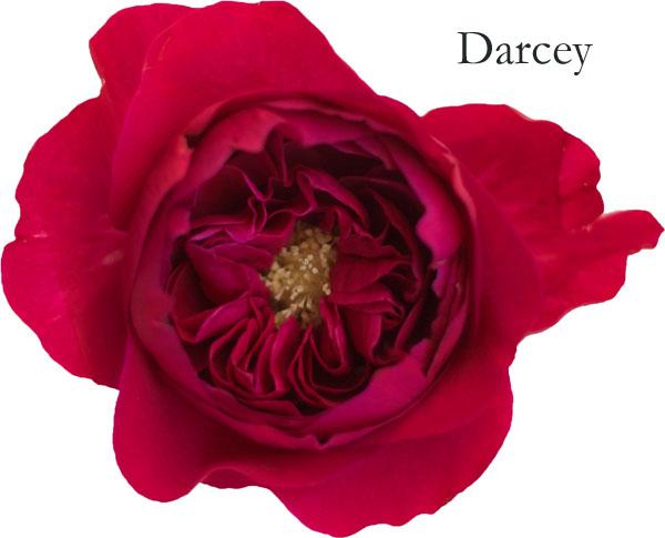David Austin Garden Rose - Darcey