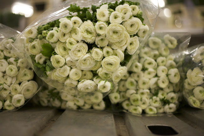 Holex Flower Holland - White ranunculus