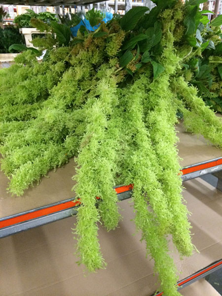 Holex Flower Holland - Green Spider Amaranthus