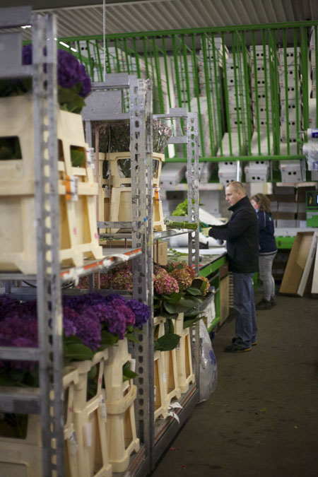 Holex Flower Holland - packing hydrangeas