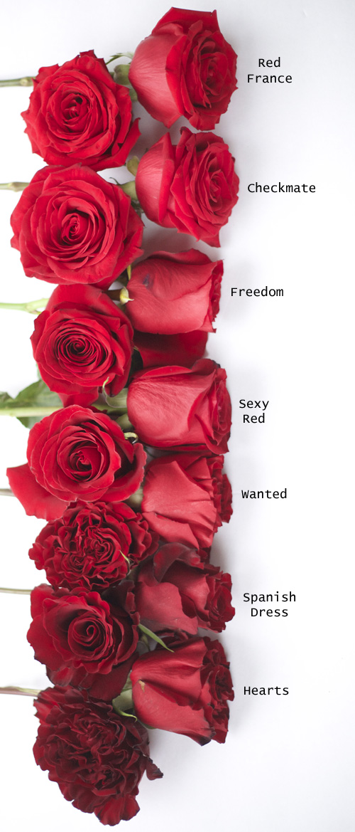 wonderful types of red roses Part - 1: wonderful types of red roses amazing design