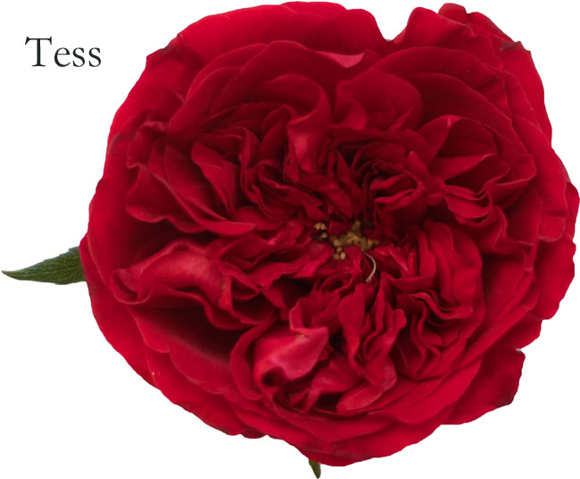 David Austin Garden Rose - Tess