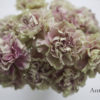 Flower Focus :: Antique Carnations