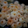 "David Austin ""Juliet"" Garden Roses grown by Alexandra Farms"