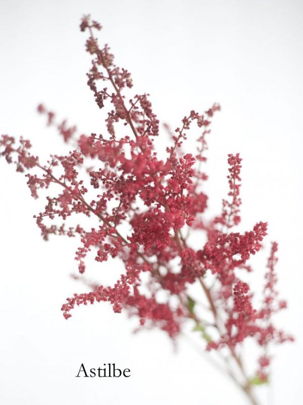 Red Astilbe