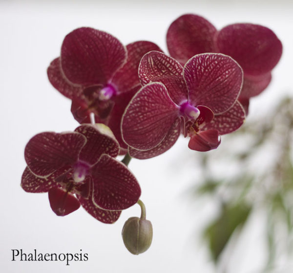 Marsala Burgundy Phalaenopsis Orchid