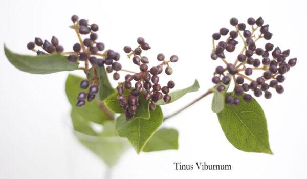 Tinus Viburnum