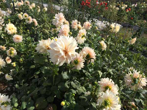 Cafe Au Lait Dahlias grown by Destiny Hill farms
