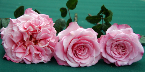 Ashley Garden Roses by Alexandra Roses