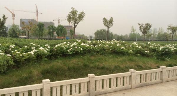 Peonies of China