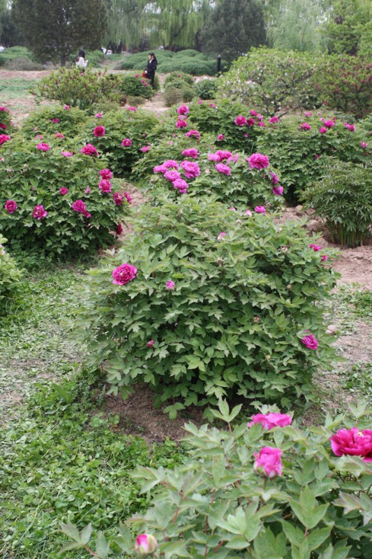 Peonies of China