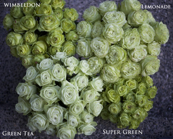 Flirty Fleurs Rose Studies - Green Rose Varieties