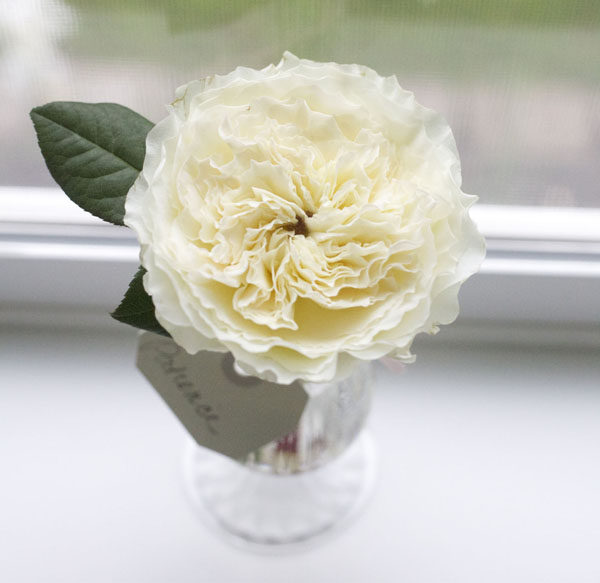 david austin garden roses flirty fleurs the florist blog - White Patience Garden Rose