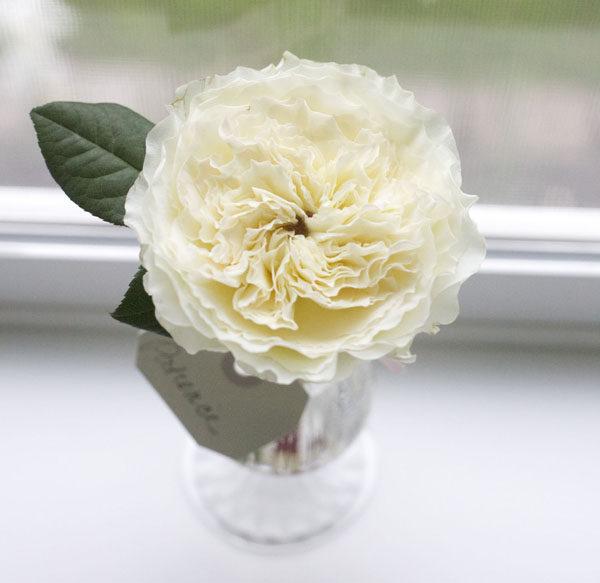 White Patience Garden Rose david austin garden roses | flirty fleurs the florist blog