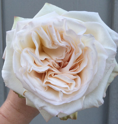 White O'Hara Rose