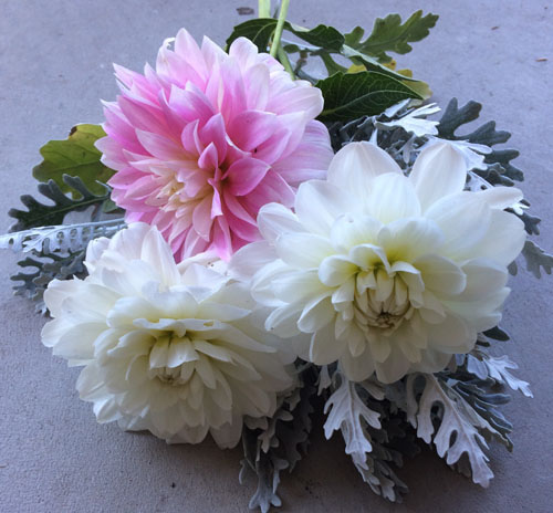 Dahlias and Dusty Miller