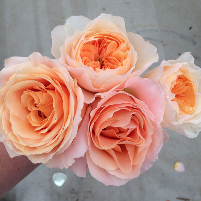 Peach Garden Rose contemporary peach garden rose wedding centerpieces m throughout