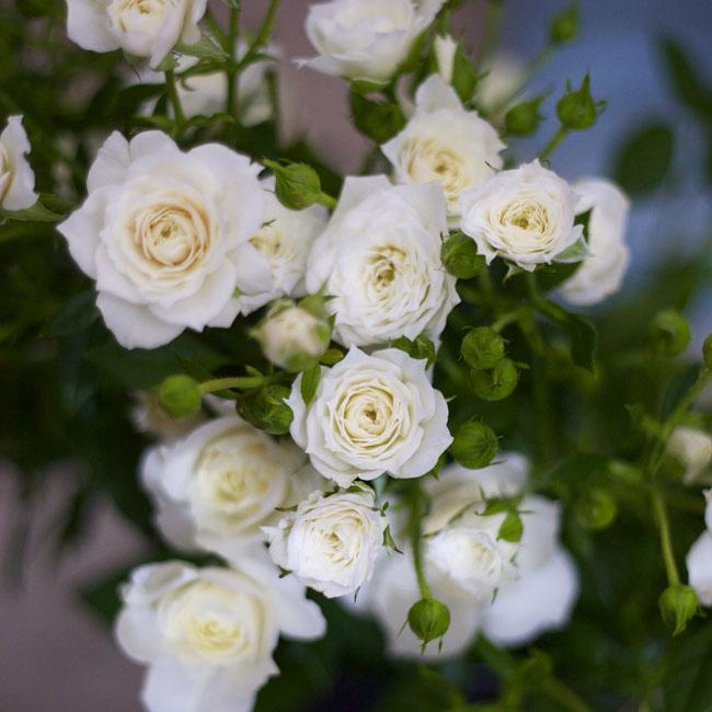 Peterkort Roses - Wendy