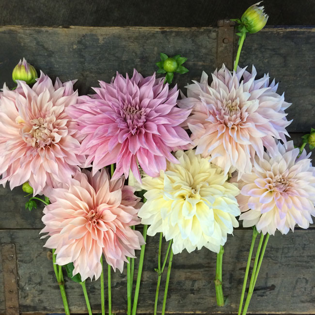 The Dahlia Wall at Seattle Wholesale Growers Market - Cafe Au Lait Dahlias