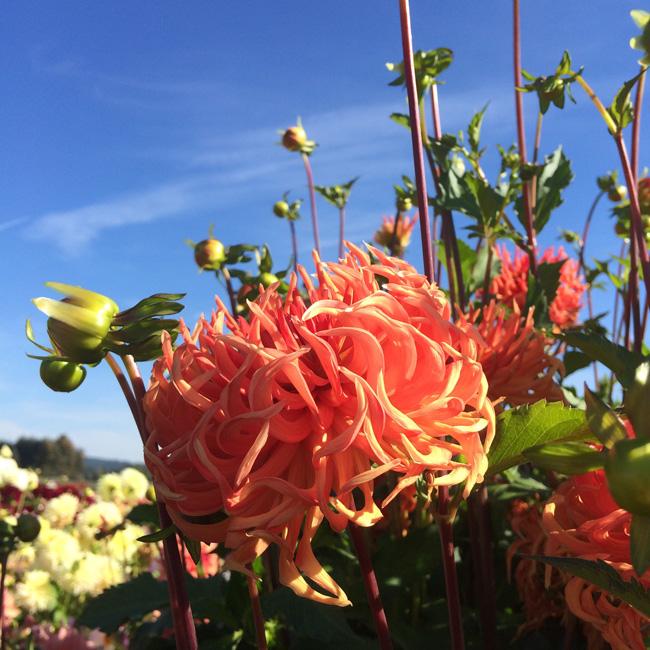 Swan Island Dahlias - Bed Head Dahlia