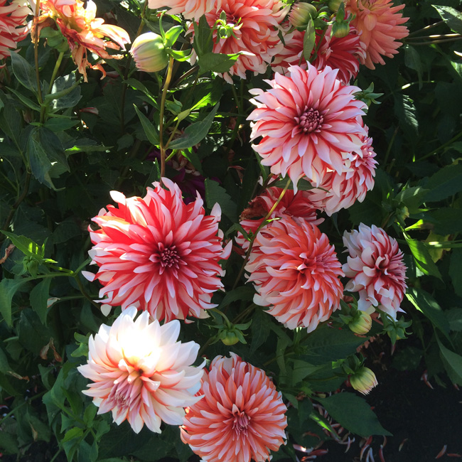 Swan Island Dahlias