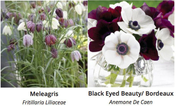 Longfield Gardens Anemones and Fritillarias